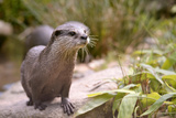 Closeup Small-Clawed Otter Among Plants Fotografisk tryk af Christian Musat