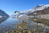 Mute Swan (Cygnus Olor), at Lake Grundel in Winter, Austria, Styria Impressão fotográfica por Blickwinkel/Dum Sheldon