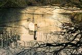 Swan Impressão fotográfica por Claire Willans