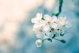 Close-Up of Cherry Blossom Stampa fotografica di Inguna Plume