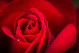 Close Up Macro Shot of a Wet Red Rose Fotografie-Druck von Daniil Belyay