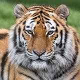 Male Amur Tiger Fotografisk tryk af Chris Godfrey