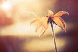 Yellow Flower Fotografisk trykk av Alexey Rumyantsev