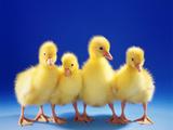 Domestic Goose (Anser Anser F. Domestica), Four Fluffy Goose Chicks Fotografisk tryk af Blickwinkel/Mcphoto/S. Mark