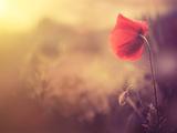Poppy Flower Fotografisk trykk av Alexey Rumyantsev