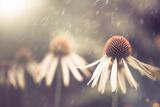 Summer Flower under Rain Fotografisk trykk av Alexey Rumyantsev