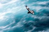 Cape Petrel - Pintado Petrel in Flight South Georgia Reproduction photographique par Renato Granieri