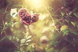 Bush Roses Fotografisk trykk av Alexey Rumyantsev