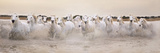 White Horses of the Camargue Galloping Through Water at Sunset Photographic Print by Gillian Merritt