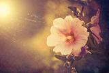 Sunset Flower Fotografisk trykk av Alexey Rumyantsev