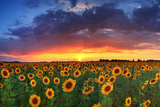 Beautiful Field of Sunflowers on the Sunset Background Bedruckte aufgespannte Leinwand von Anton Petrus