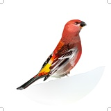 Red Bird, Pine Grosbeak Reproduction photographique par  Conceptcafe