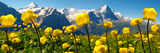 Alpine Globeflower Meadows at 6000 Ft with the Eiger Behind. First, Grindelwald, Bernese Alps Stampa su tela di Paul Williams