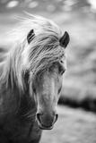 Portrait of Icelandic Horse in Black and White Fotografisk tryk af Aleksandar Mijatovic