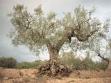 An Old Olive Tree Fotografie-Druck von Roland Andrijauskas