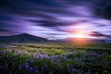 Lupines, Myrdalssandur, South Coast, Iceland Fotografie-Druck von Ragnar Th Sigurdsson