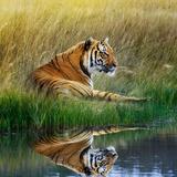 Tiger Relaxing on Grassy Bank with Reflection in Water Fotografisk trykk av Svetlana Foote