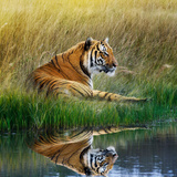 Tiger Relaxing on Grassy Bank with Reflection in Water Fotografie-Druck von Svetlana Foote