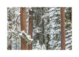Snowy Pine Forest Giclee Print by Don Paulson
