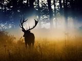 A Red Deer Buck, Cervus Elaphus, Comes Out from the Forest Toile tendue sur châssis par Alex Saberi