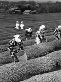 Japanese Tea Pickers in Shizuoko, 1938 Fotografie-Druck von Scherl Süddeutsche Zeitung Photo