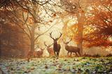 Cuatro ciervos rojos, Cervus Elaphus, en el bosque en otoño Reproducción de lámina sobre lienzo por Alex Saberi