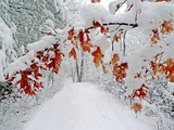 Snow Arches an Oak Tree Branch over a Road Through a Snowy Forest Kunst op gespannen canvas van Amy & Al White & Petteway