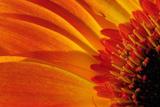 Close Up of a Orange Gerbera Daisy, Gerbera Species Stretched Canvas Print by Darlyne A. Murawski
