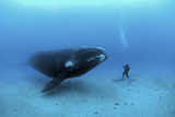 A diver has a close encounter wih a southern right whale Stretched Canvas Print by Brian J. Skerry