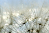 Close View of Dandelion Seeds, Groton, Connecticut Stampa su tela di Gipstein, Todd