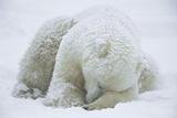 Polar Bear (Ursus Maritimus) Sleeping, Hudson Bay, Canada Opspændt lærredstryk af Konrad Wothe