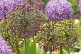 Group of Allium Inflorescences with Flowers and Buds Stampa su tela di Murawski, Darlyne A.