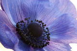 Close Up of a Blue Anemone Flower Stretched Canvas Print by Darlyne A. Murawski