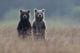 Two Brown Bear Spring Cubs Standing Side-by-side in Curiosity Toile tendue sur châssis par Barrett Hedges