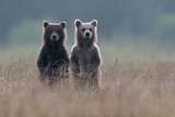 Two Brown Bear Spring Cubs Standing Side-by-side in Curiosity Trykk på strukket lerret av Barrett Hedges