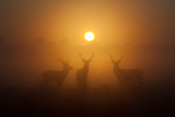 Three Red Deer Stags in the Early Morning at Richmond Park, London, England Impressão fotográfica por Alex Saberi