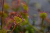 Close Up of a Sundew, Drosera Rotundifolia, Carnivorous Plant Photographic Print by Erika Skogg