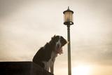 A Dog, Canis Lupus Familiaris, Wearing a Pink Bandana at Sunset Next to Streetlight Impressão fotográfica por Jeff Mauritzen