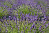 Lavender Field in Bloom Photographic Print by Erika Skogg