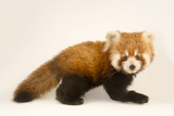 An Endangered Six Month Old Red Panda  Ailurus Fulgens  at the Virginia Zoo