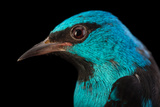 A Male Blue Dacnis, Dacnis Cayana, at Tracy Aviary Reproduction photographique par Joel Sartore