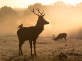 A Red Deer with Western Jackdaw, Corvus Monedula, in London's Richmond Park Impressão fotográfica por Alex Saberi