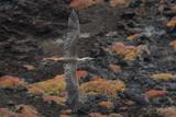 A Red-Footed Booby in Flight over Red Sesuvium at Punta Pitt, San Cristobal Island Impressão fotográfica por Jeff Mauritzen