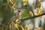 A Red-Cowled Cardinal Perching on a Tree in Sao Paulo's Ibirapuera Park Impressão fotográfica por Alex Saberi