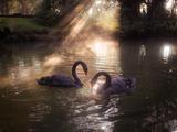 A Pair of Black Swan, Cygnus Atratus, on a Misty Lake in Brazil's Ibirapuera Park Impressão fotográfica por Alex Saberi