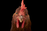 A Studio Portrait of a New Hampshire Red Hen Fotografisk tryk af Joel Sartore
