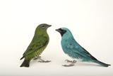 Two Swallow Tanagers, Tersina Viridis, at the Houston Zoo Reproduction photographique par Joel Sartore