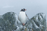 Snow Falls on a Gentoo Penguin, Pygoscelis Papua, at Ronge Island in Antarctica Impressão fotográfica por Jeff Mauritzen