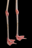 The Legs of a Chilean Flamingo, Phoenicopterus Chilensis, at the Gladys Porter Zoo Fotografisk tryk af Joel Sartore