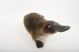 A Platypus, Ornithorhynchus Anatinus, at the Healesville Sanctuary Fotografisk tryk af Joel Sartore
